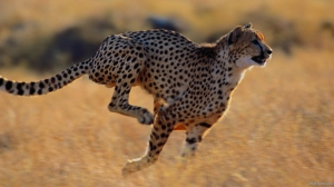cheetah-993774