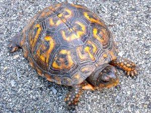turtle_back